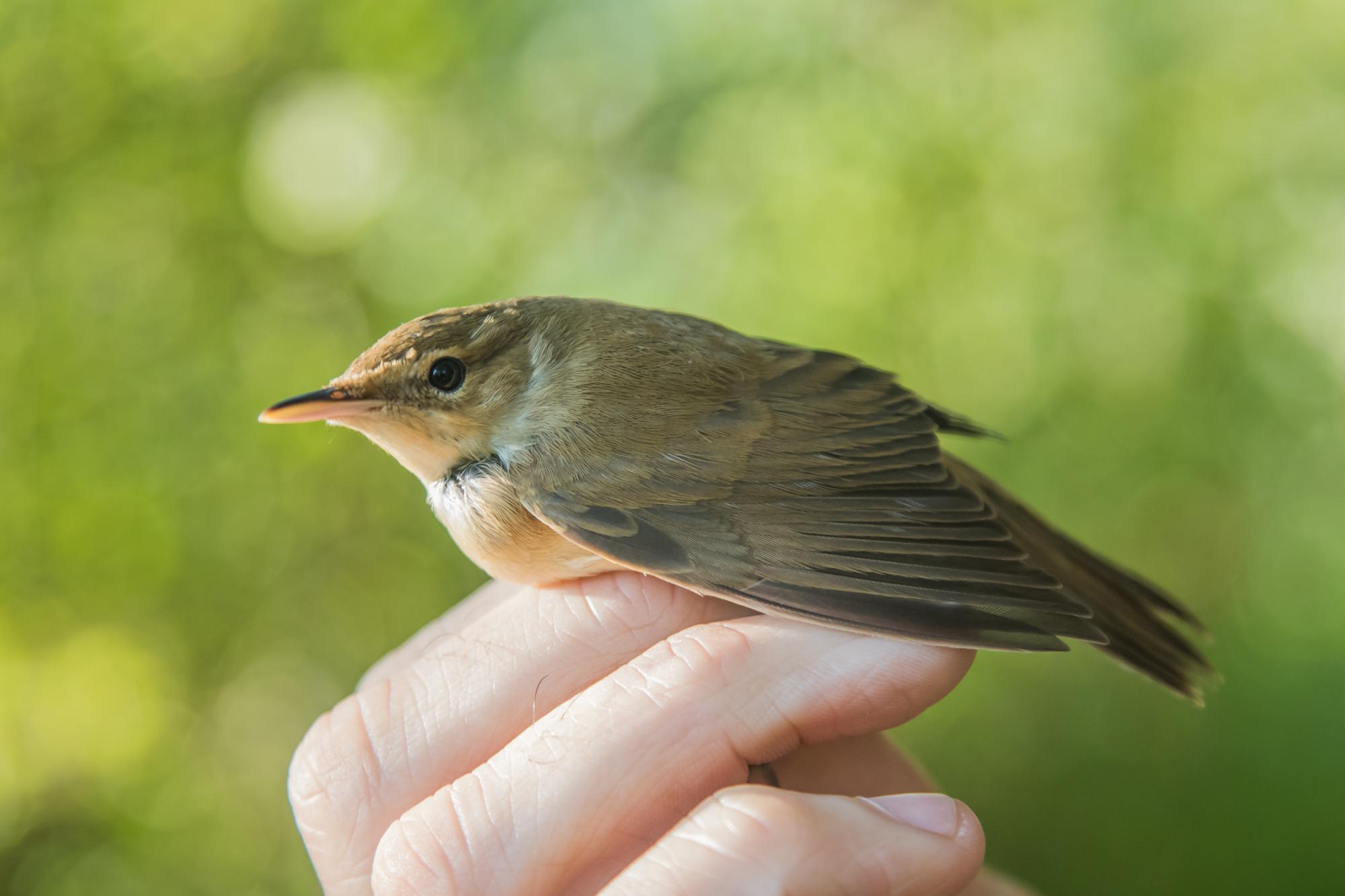 Blyth's Reed Warbler – BUI