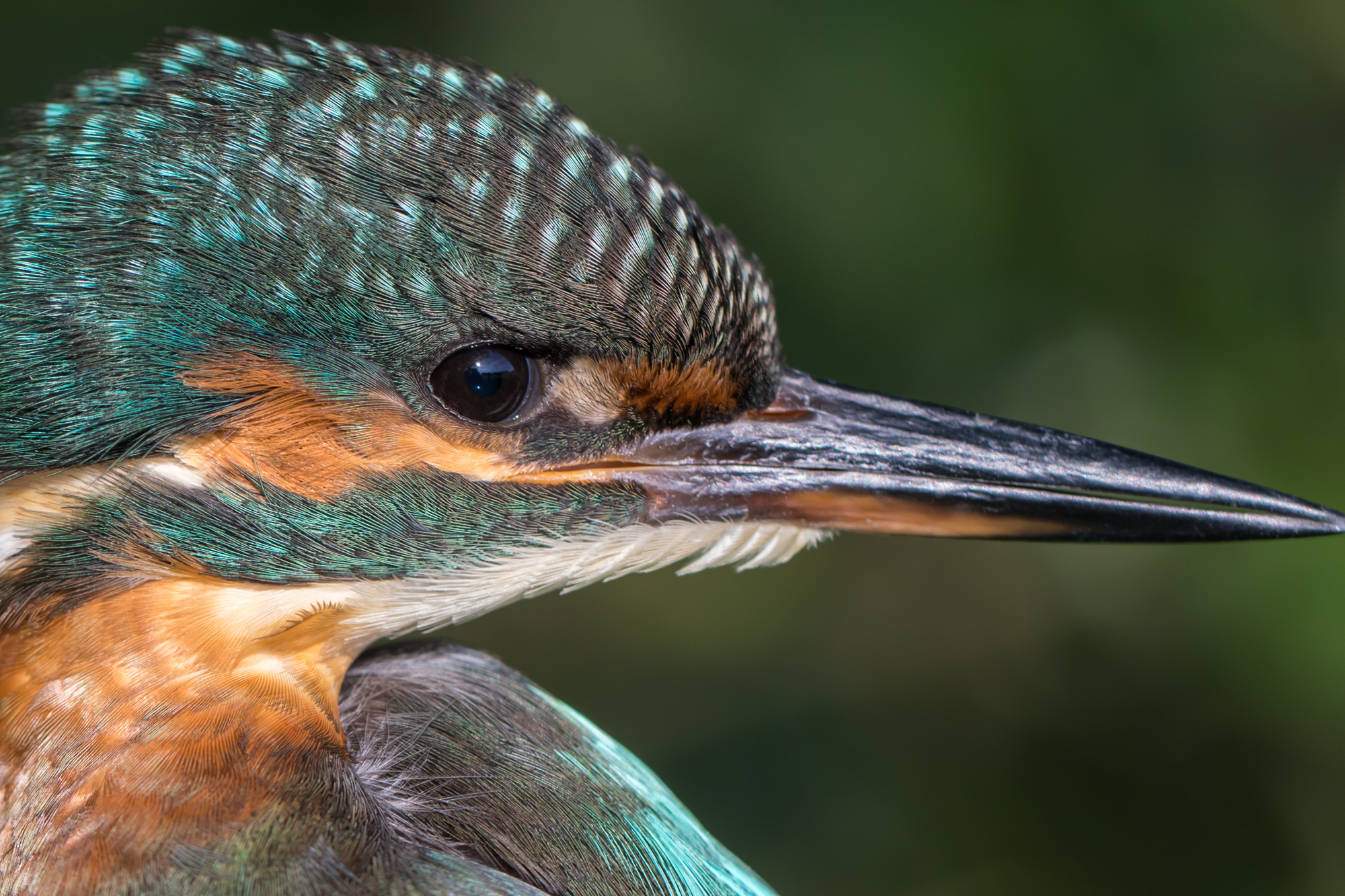 Common kingfisher – MP