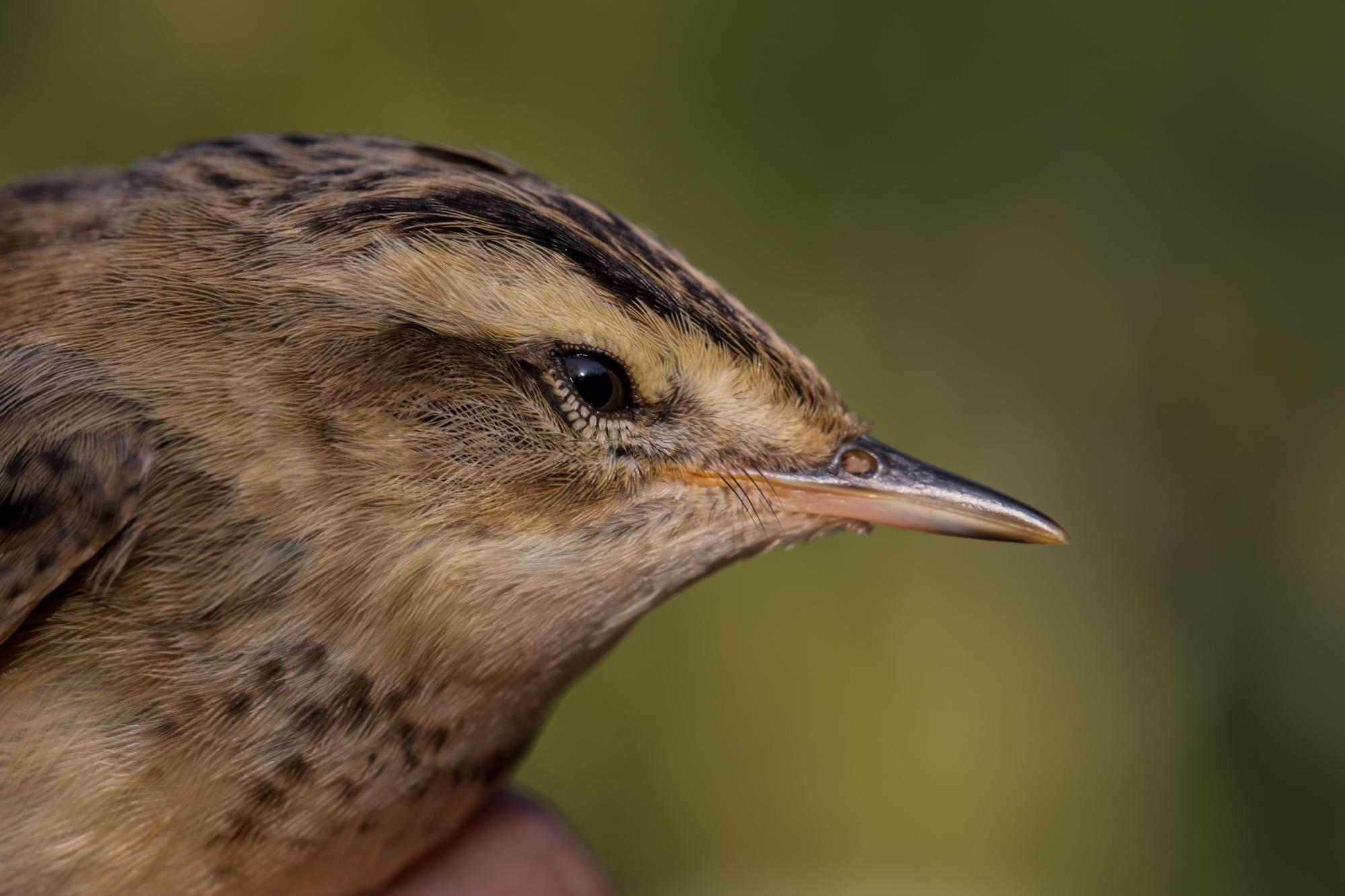 Sedge warbler – PHJ
