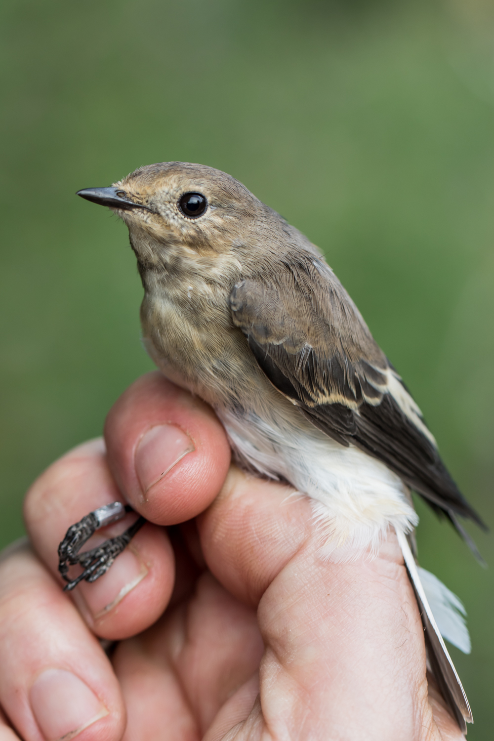 European pied flycatcher – GOB