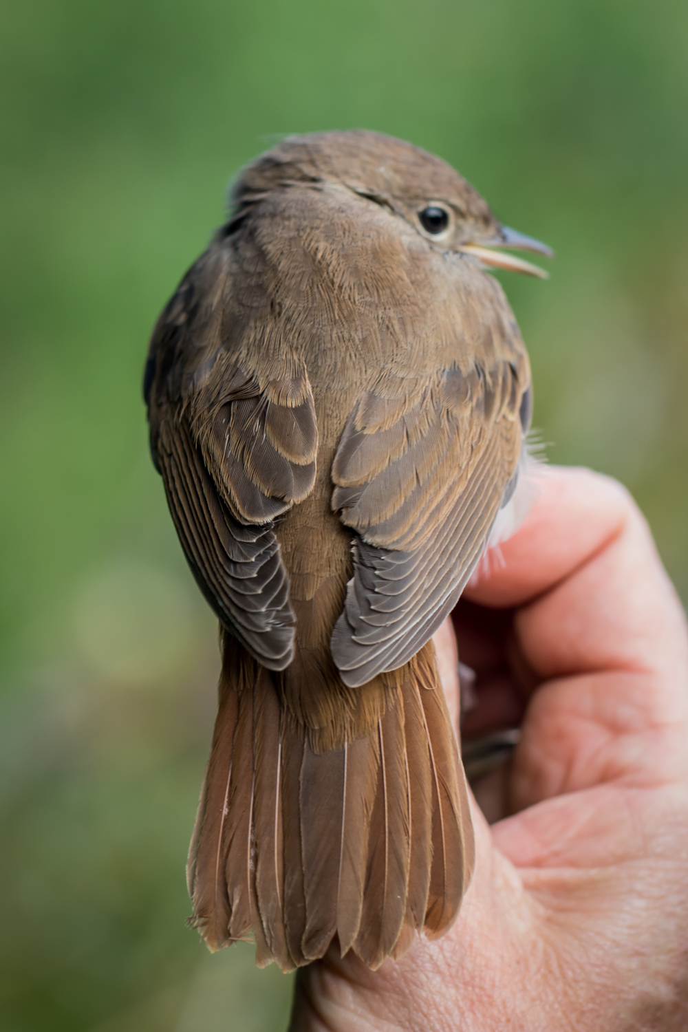 Common nightingale - ROSS
