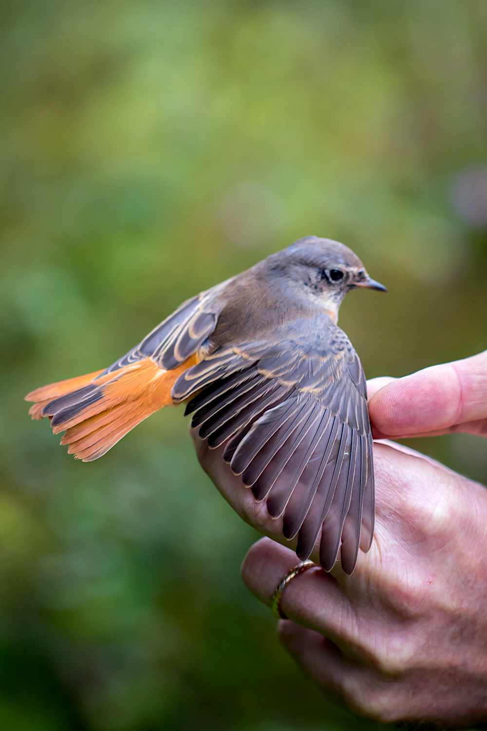 Common redstart - RQ